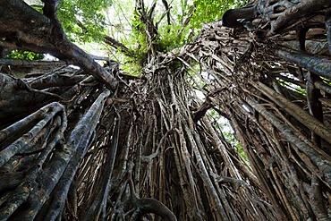 Strangler Fig Tree (Ficus virens), rainforest, Curtain Fig Tree National Park, Atherton Tablelands, Queensland, Australia