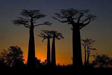 Avenue of Baobab (Adansonia digitata) trees at sunset, near Morondava in western Madagascar, Africa, Indian Ocean