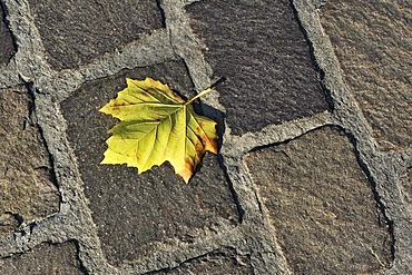 Maple leaf (Acer) on cobble stones