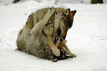 Mackenzie Valley, Canadian - or Alaskan Timber Wolves (Canis lupus occidentalis) playing, fighting at a zoo in Germany, Europe