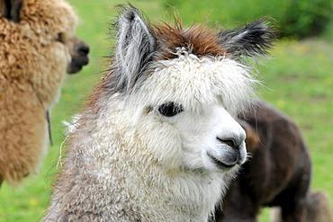 Alpacas (Lama pacos), alpaca breeding, Schwaebisch Gmuend, Baden-Wuerttemberg, Germany, Europe