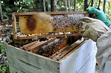 Beekeeper showing honeycomb, beekeeping in the Amazon rain forest is part of agricultural activity in a settlement of formerly landless peasants, land reform, Entre Rios Province, Mato Grosso, Brazil, South America