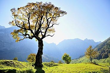 Sycamore maple tree (Acer pseudoplatanus) in Grosser Ahornboden alp near the village of Hinterriss in the Karwendel range near Vomp, Tyrol, Austria, Europe