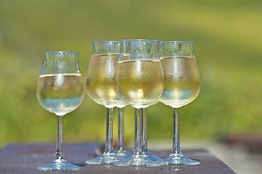 Wine glasses filled with white Riesling wine, Rheingau, Hesse, Germany, Europe