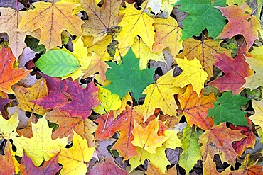 Autumn-coloured leaves of a maple (Acer) and beech trees (Fagus), Brandenburg, Germany, Europe
