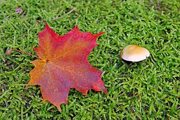 Autumn-coloured maple leaf (Acer), on a moss-covered trunk next to a mushroom, Brandenburg, Germany, Europe