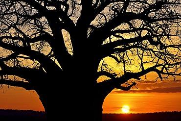 Baobab tree (Adansonia digitata), Tarangire National Park, Tanzania, Africa