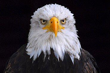 Bald Eagle (Haliaeetus leucocephalus, at Hellenthal Zoo, Hellenthal, North Rhine-Westphalia, Germany, Europe