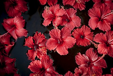 Hibiscus (Hibiscus) flowers floating on water, decorations, Purity Hotel, Malabar Escapes, Lake Vembanad, Kerala, South India, India, Asia