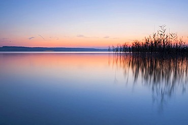 Evening mood with reeds near Birnau monastery on Lake Constance, Baden-Wuerttemberg, Germany, Europe