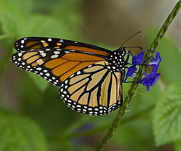Monarch Butterfly (Danaus plexippus), Homosassa Springs Wildlife State Park, Florida, USA, North America