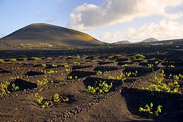 Wine growing in full volcanic ash, a production that is unique in the world, La Geria, Lanzarote, Canary Islands, Spain, Europe