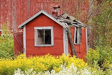 Ruin of a small red shack surrounded by yellow flowers, near Lowell, northern Vermont, USA