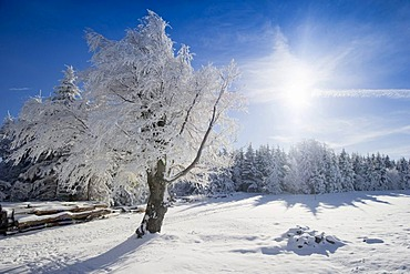 Snow-covered beeches and fir trees on Mt. Schauinsland, Freiburg im Breisgau, Black Forest, Baden-Wuerttemberg, Germany, Europe