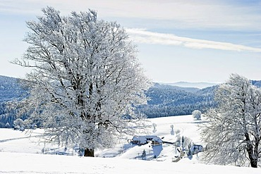 Snow-covered beech trees in Hofsgrund on Mt Schauinsland, Freiburg im Breisgau, Black Forest, Baden-Wuerttemberg, Germany, Europe