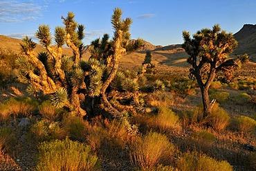 Joshua tree (Yucca brevifolia) in the Beaver Dam Wash National Conservation Area, Mojave Desert, Utah, USA, North America