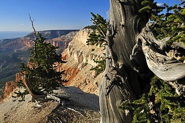 Ancient Bristlecone pine (Pinus longaeva) at Powell Point, Escalante Mountains, Dixie National Forest, Utah, USA, North America