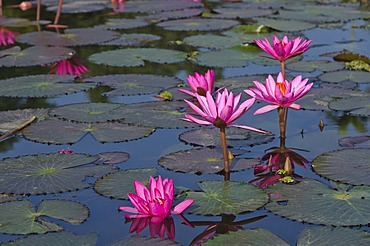 Water lilies (Nymphaea) growing in a little lake, Moran, Assam, India, Asia