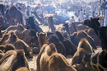 Pushkar Camel Fair, one of the largest camel markets in Asia, Rajasthan, India, Asia