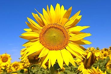 Sunflower (Helianthus annuus), Drome, Rhone-Alpes, France, Europe