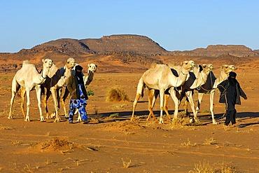 Tuareg nomads bringing their herd of dromedaries back home from the pasture in the desert, Sahara, Libya, North Africa, Africa