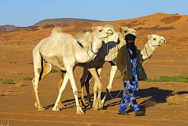 Tuareg nomad bringing his dromedaries back home from the pasture in the desert, Sahara, Libya, North Africa, Africa