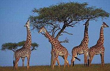 giraffes (giraffe camelopardis), Masai Mara, Kenya, Africa