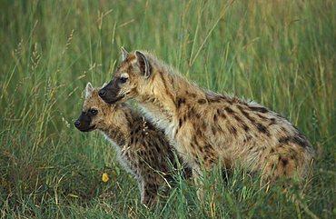 Young hyaena (Crocuta crocuta) , Masai Mara, Kenya