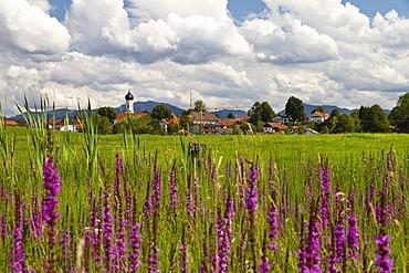 Flowering meadow with Purple loosestrife (Lythrum salicaria), near village of Iffeldorf, Alpine foothills, or Prealps, Upper Bavaria, Germany, Europe