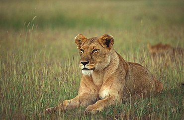 lion female (panthera leo), Masai Mara, Kenya, Afrika