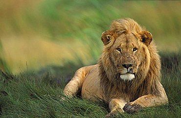 lion male (panthera leo), Masai Mara, Kenya, Africa