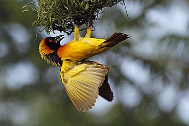 Weaver bird (Ploceidae) in the Masai Mara, Kenya, Africa