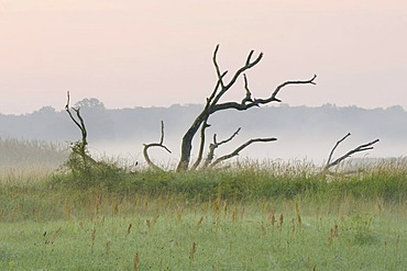 Grassland on the Elbe River, early morning, near Dessau, Middle Elbe Biosphere Reserve, Saxony-Anhalt, Germany, Europe