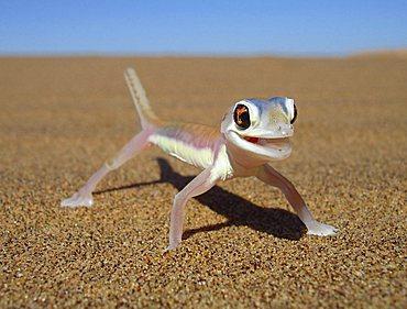 Palmato gecko, Namib desert near Swakopmund, Namibia