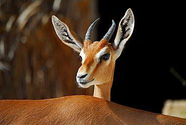 Gazelle, Wahiba Sands (Wahiba desert), Oman