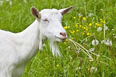 Goat (Capra aegagrus hircus), Alpsteingebirge mountains, Canton St. Gallen, Switzerland, Europe