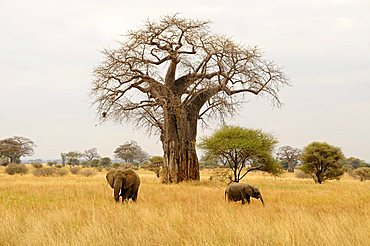 African Bush Elephants (Loxodonta africana) under a Baobab tree (Adansonia digitata), Tarangire-National Park, Tanzania, Africa
