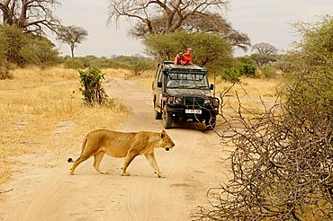 Female lion (Panthera leo) in front of a four wheel drive vehicle, Tarangire-National Park, Tanzania, Africa