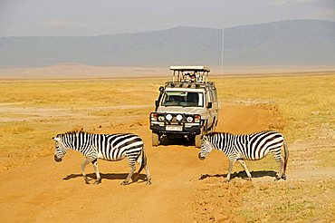 Zebras in front of a jeep with safari tourists, Ngorongoro Crater, Tanzania, Africa
