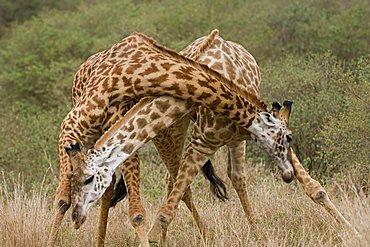 Masai Giraffes (Panthera leo) fighting, Masai Mara, Kenya, East Africa