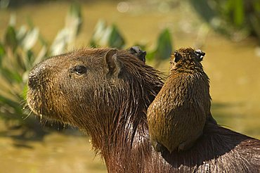 Capybara (Hydrochaeris hydrochaeris), mother and baby, Pantanal, Mato Grosso, Brazil