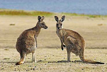 Eastern Grey Kangaroo, Macropus giganteus, Maria Island National Park, Tasmania, Australia