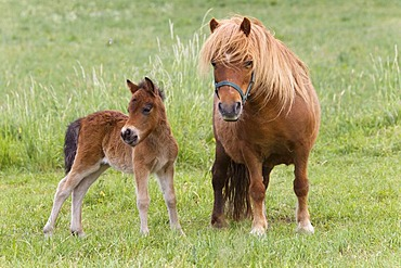 Shetland ponies (Equus ferus caballus), mare with a foal