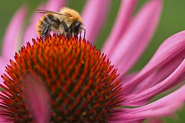 Bumble-bee on a flower - Echinacea purpurea