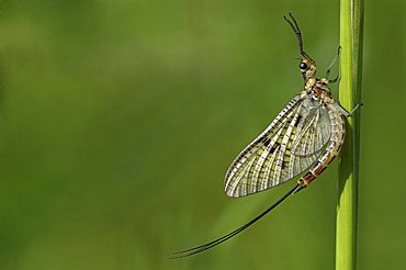 mayfly (Ephemera danica) on blade of grass