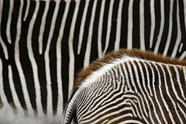 zebra stripes (Equus zebra), abstract