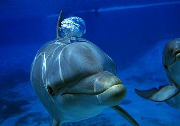 Dolphin (Delphinus delphis)