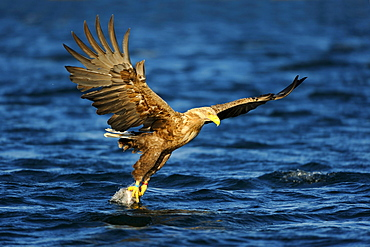 White-tailed Eagle or Sea eagle (Haliaeetus albicilla) gripping its prey in flight, Flatanger, Nordtrondelag, Norway, Scandinavia, Europe