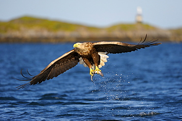 White-tailed Eagle or Sea eagle (Haliaeetus albicilla) in flight with prey, behind the Norwegian coastline with lighthouse, Flatanger, Nordtrondelag, Norway, Scandinavia, Europe
