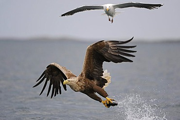 White-tailed Eagle or Sea eagle (Haliaeetus albicilla) in flight with prey, and Great Black-backed Gull (Larus marinus) behind, Flatanger, Nordtrondelag, Norway, Scandinavia, Europe